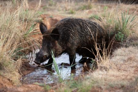 Wildlife Removal Company Contracted For Feral Hog Problem